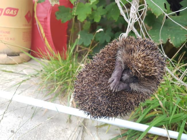 RSPCA braces for a hectic month hedgehog calls