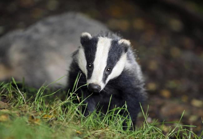 Wildlife charity opposes badger cull