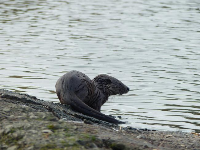 Caerlaverock has been treated to fantastic views of a family of otters Picture WWT Caerlaverock Wetland Centre