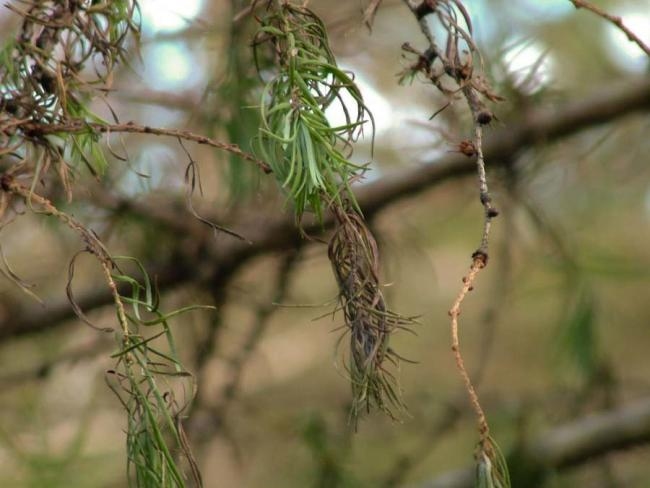 Killer disease: Phytophthora ramorum has been reported across Cumbria        