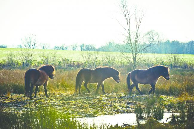 BEAUTIFUL: you might spot some Exmoor ponies on your travels this month. Picture: Florence Acland