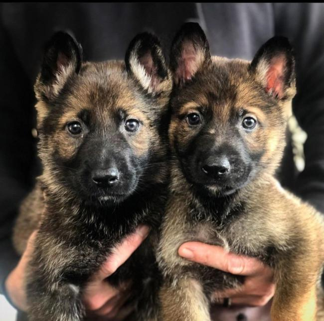 The two newest recruits at Cumbria police, who will be arriving this week to start their journey to becoming police dogs for Cumbria. Photo: Cumbria Police/Insp. Kim Brown