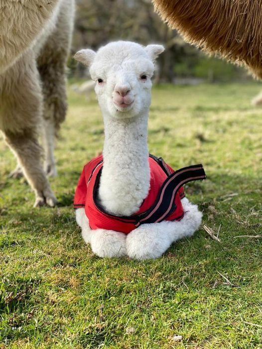 Baby: The brand new alpaca is in need of a cracking name – and you can help Picture: Alpacaly Ever After