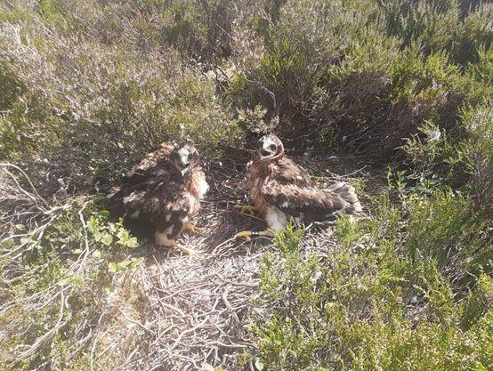 Brampton Primary School pupils name rare hen harrier chicks