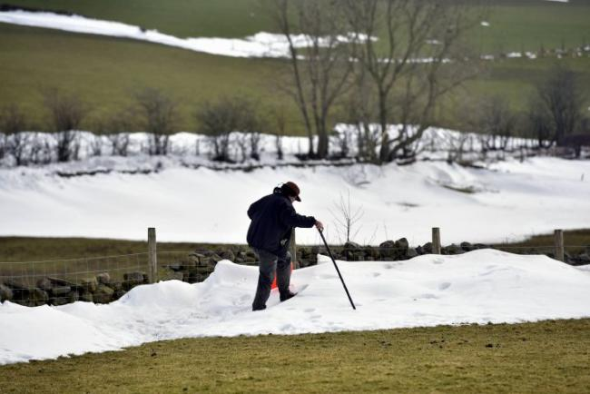 A farmer search snow drifts in fields between Renwick and Kirkoswald looking for buried sheep
