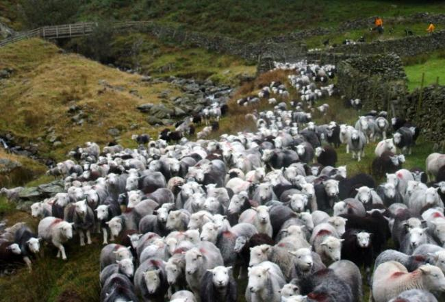 Herdwick being brought down from the Lake District fells. Credit: Tony Greenbank