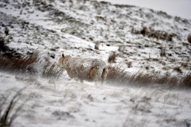Winter weather. Sheep gather round a feed trough in the snow. A covering of snow in the Pennines near Alston. A yellow weather warning for snow and ice is in place for the next few days. Along with this snow is a strong biting wing blowing the snow across