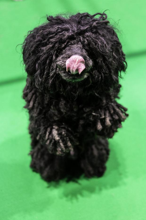 News and Star: Hungarian Puli Sanka wowed crowds with his agility and obedience shows - and his flowing dreadlocks