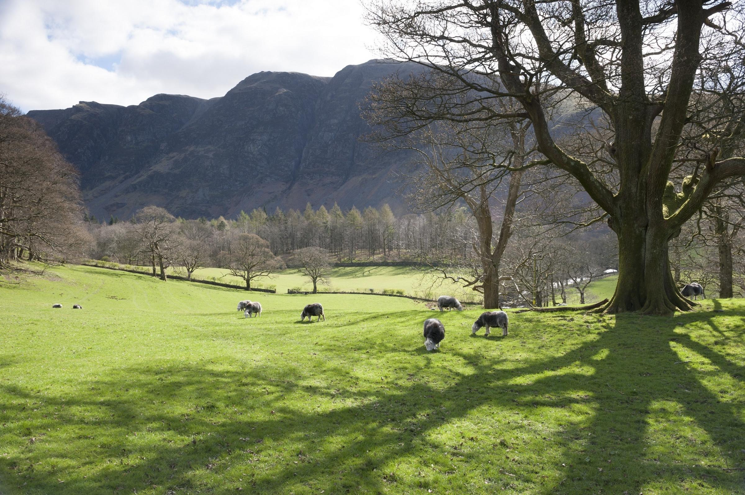 Herdwick sheep at Wasdale, Cumbria.